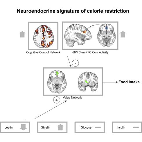 Neuroendocrine signature of calorie restriction